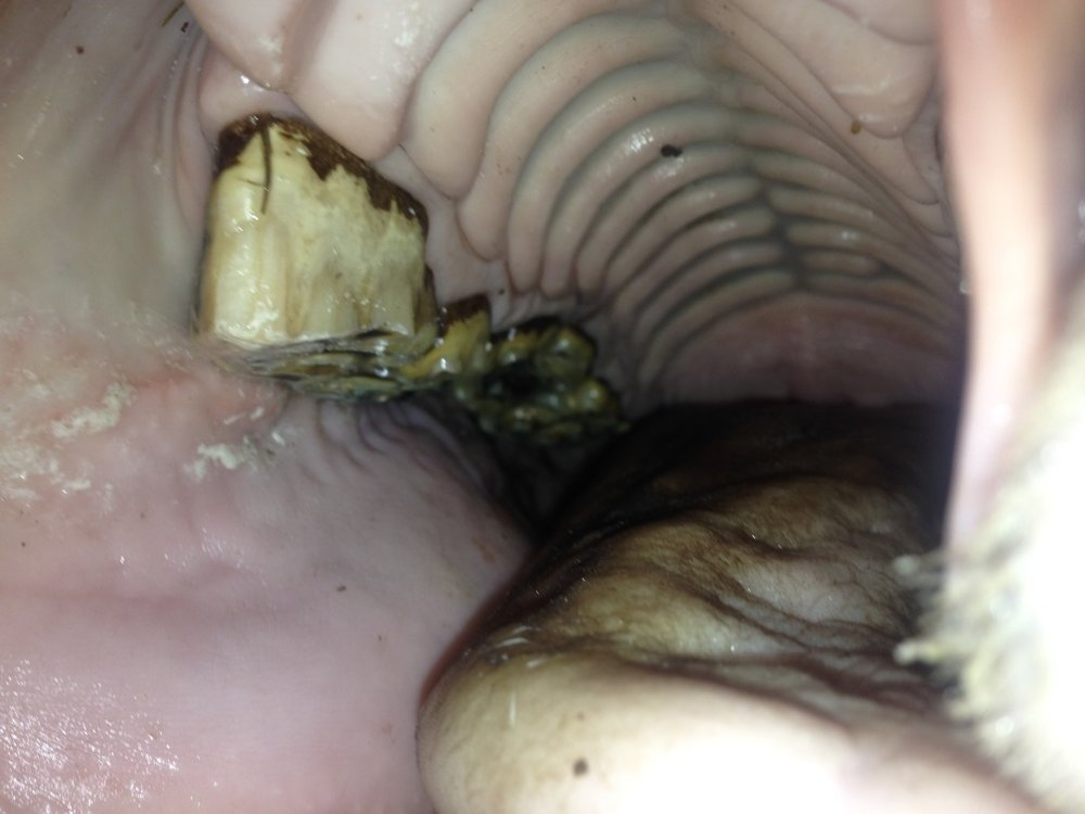 horse dental.jpg