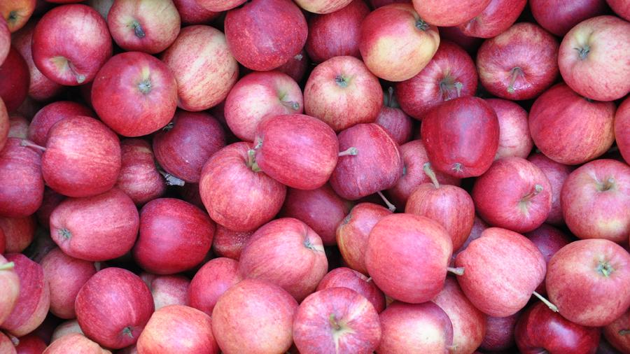 organic, non gmo apples (c) mark somple 2014