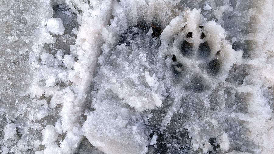 animal, man & machine prints in snow (c) mark somple 2015