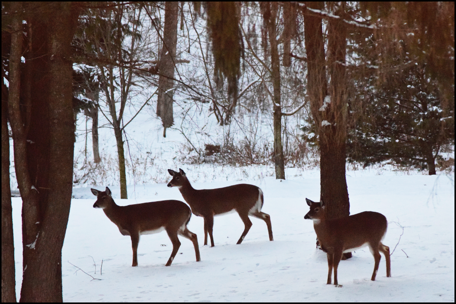 deer looking for food before a snowstorm (c) mark somple 2018