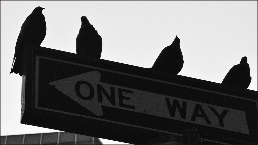 some birds sitting on a one way sign (c) mark somple 2018