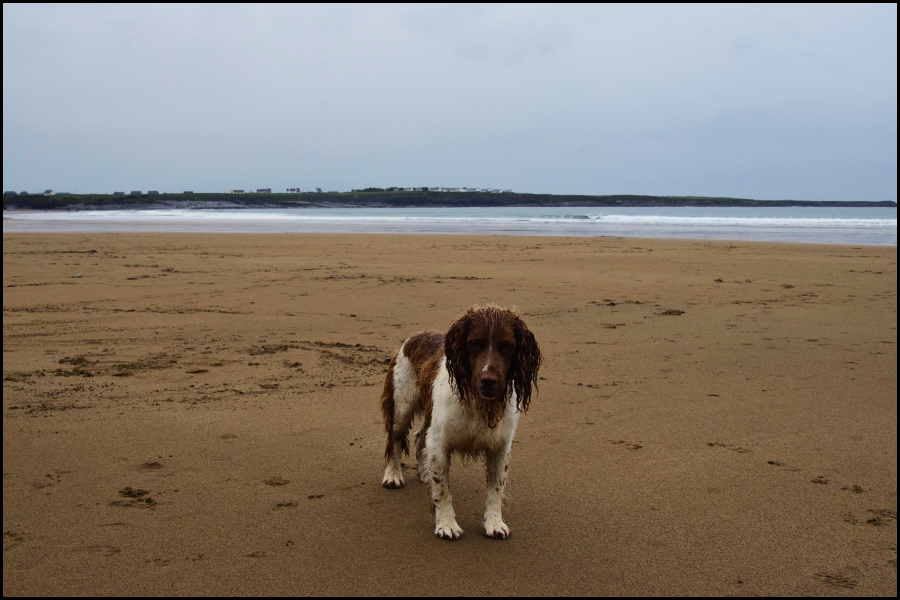 this isn't Murpy. just a dog in Ireland that ran up to me and wanted to play fetch with a seaweed stem (c) mark somple 2018