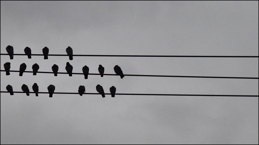 birds sitting on a wire of imbalance (c) mark somple 2019
