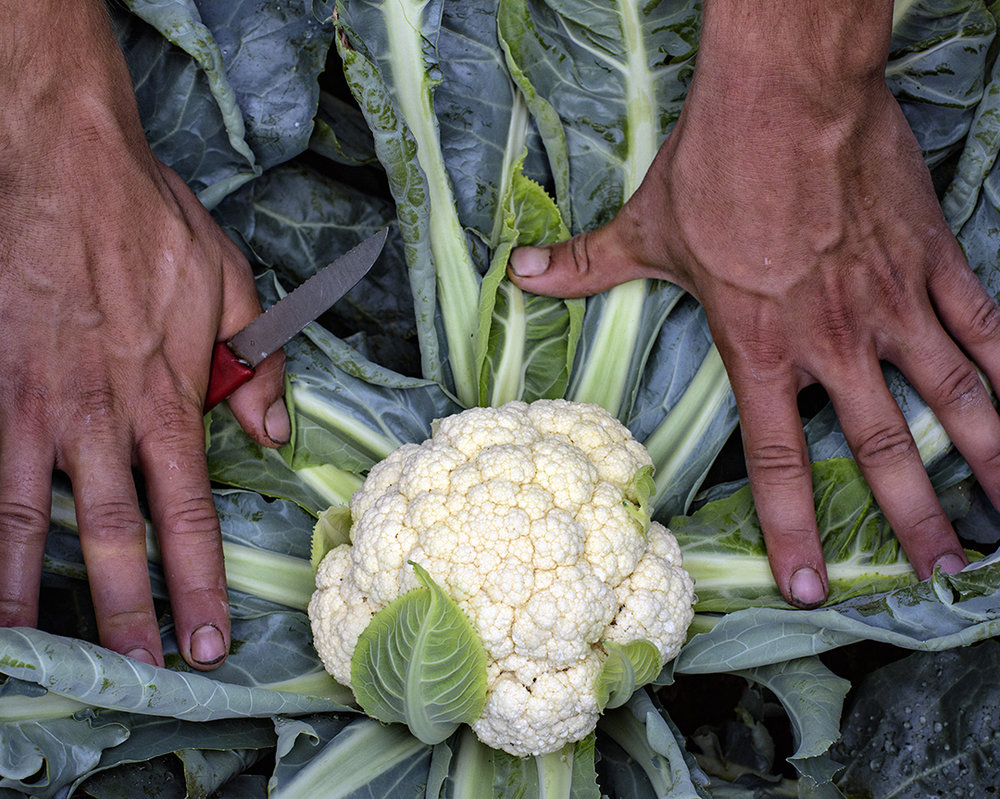 Amazing Cauliflower lives up to its name. (Photograph by Paul Cary Goldberg)