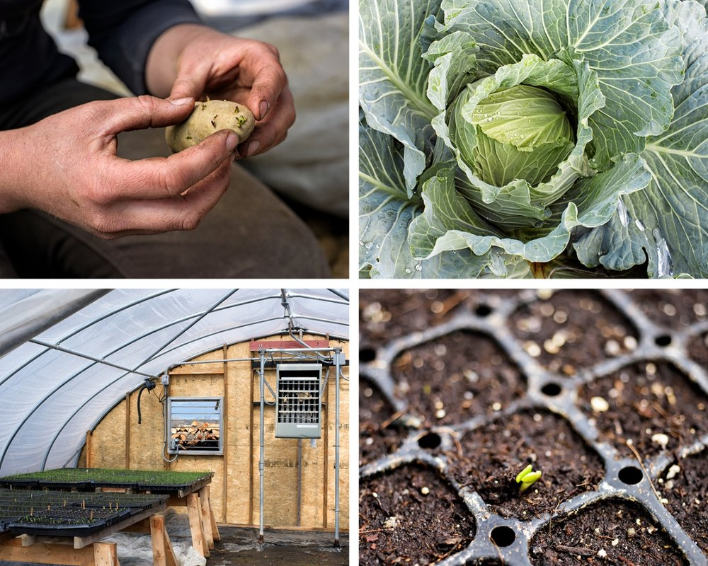 Clockwise from top left:  Carola  potato pre-sprouts get a jumpstart on the season; A flourishing  Kaitlin  cabbage, a fall sauerkraut variety;  A wee  Gunma  cabbage, emerges in a greenhouse tray; A sure sign of spring — flats filling up the greenhouse. (Photographs by Paul Cary Goldberg)