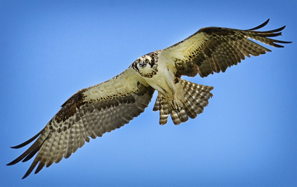 Osprey soar over the water to scope out their next meal. (Photograph by Gareth Rasberry/Wiki Commons)