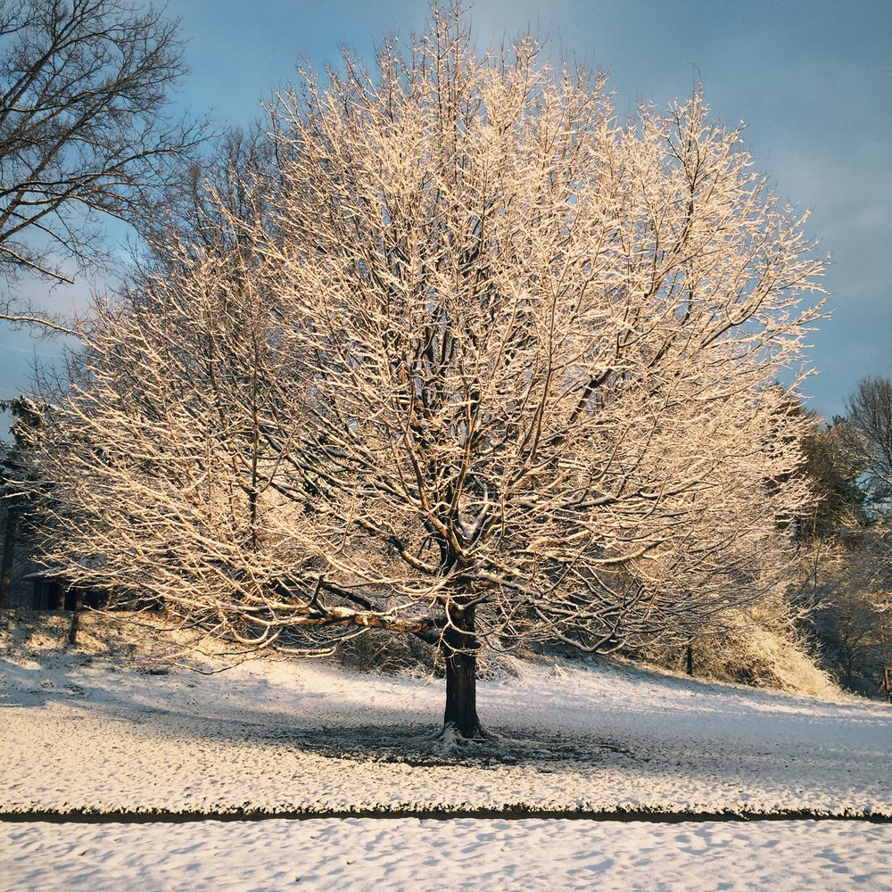 Tree with no leaves, branches covered by snow. Photo: Marcus Donaldson