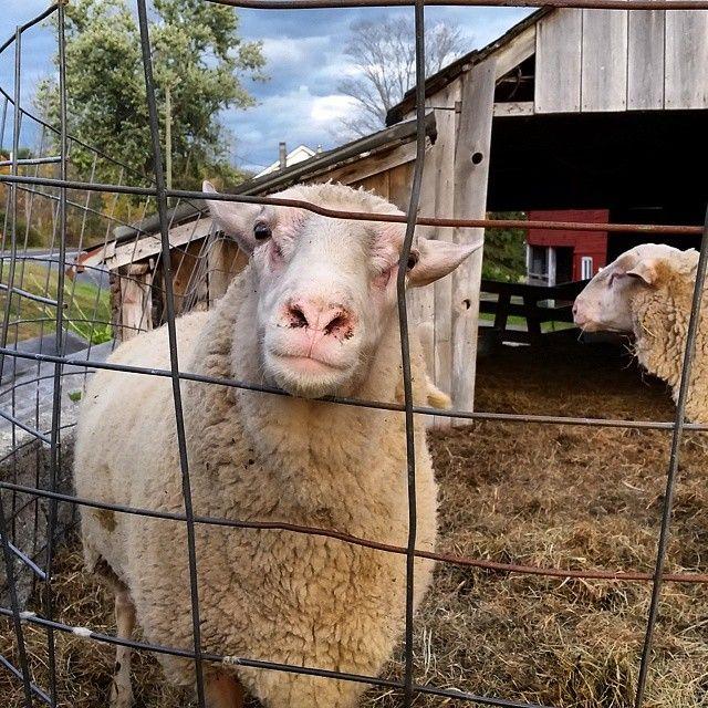 Dancing Ewe Farm | SavoryPantryBlog.com