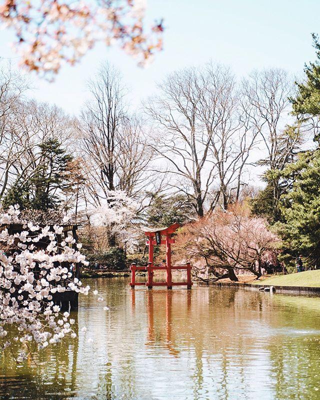 [🌸 Sakura Garden 🌸] • Um dos principais motivos que me levaram a Nova York no mês de abril foi o início da primavera. E é no Brooklyn Botanic Garden que durante essa época há o desabrochar das flores de cerejeiras. Também conhecidas pelo nome de Sakura, são um símbolo da cultura japonesa e asiática. Com seus lindos tons rosé elas são muito especiais, pois ao nascerem só duram alguns dias antes de caírem. O que torna o jardim japonês do Brooklyn Botanic Garden um passeio imperdível na sua próxima viagem a NYC. . One of the main reasons that led me to New York City on April was the beginning of spring. And it's in the Brooklyn Botanic Garden that during this time of the year the cherry blossoms are blossoming. Also known by the name of Sakura, they are a symbol of the Japanese and Asian culture. With their beautiful rosé tones they are very special because they last only a few days after they bloom. What makes the Japanese garden of the Brooklyn Botanic Garden a must-see on your next trip to NYC.
