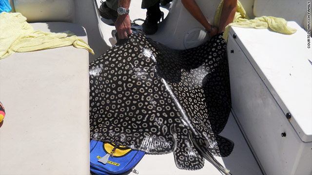 The eagle ray weighed about 300 pounds