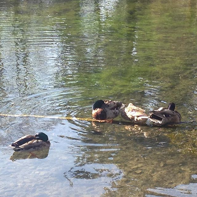 Some #Kilkenny ducks huddlin' on an underwater branch.
