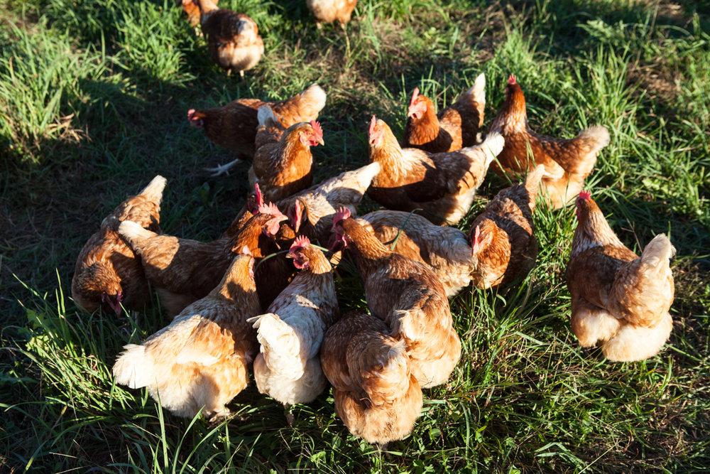wingate_farm_eggs_alyssa_robb_photography-5.jpg