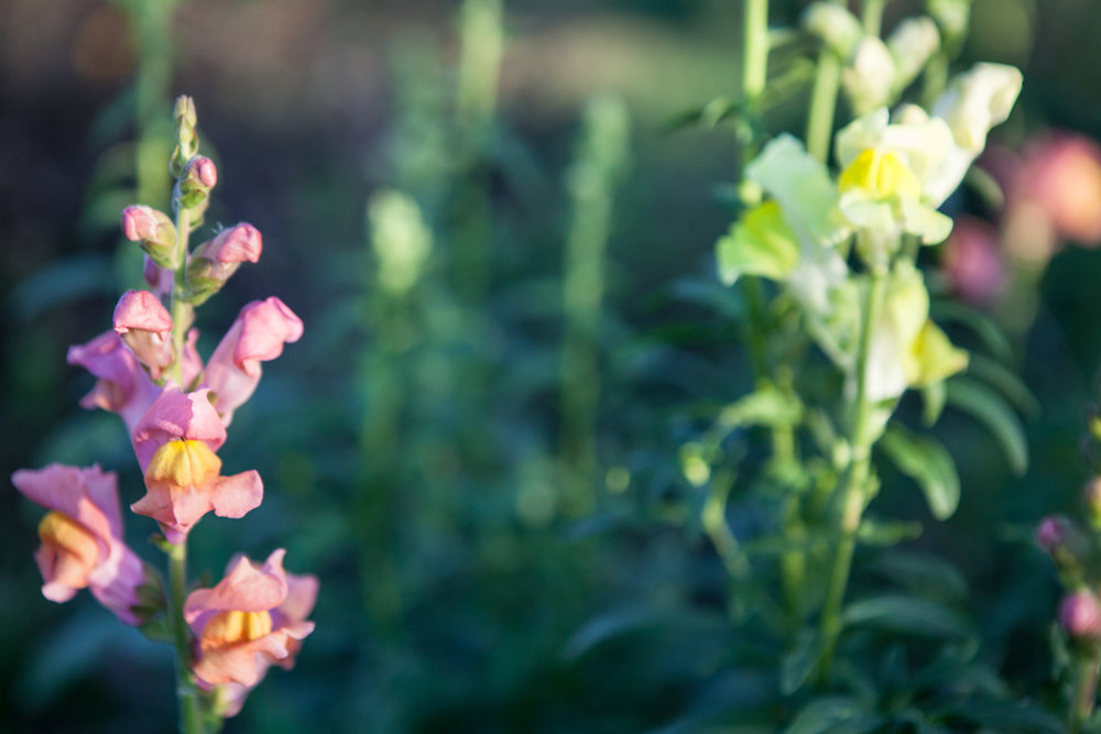 wingate_farm_flowers_alyssa_robb_photography-4.jpg