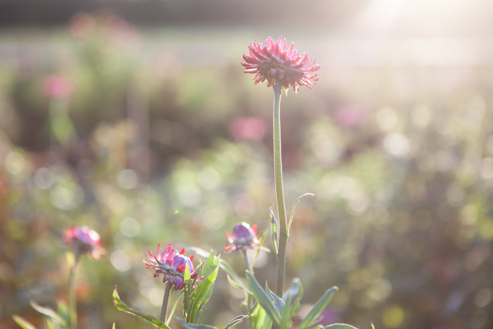 wingate_farm_flowers_alyssa_robb_photography-6.jpg