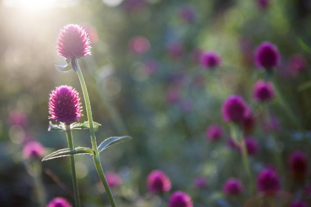 wingate_farm_flowers_alyssa_robb_photography-9.jpg