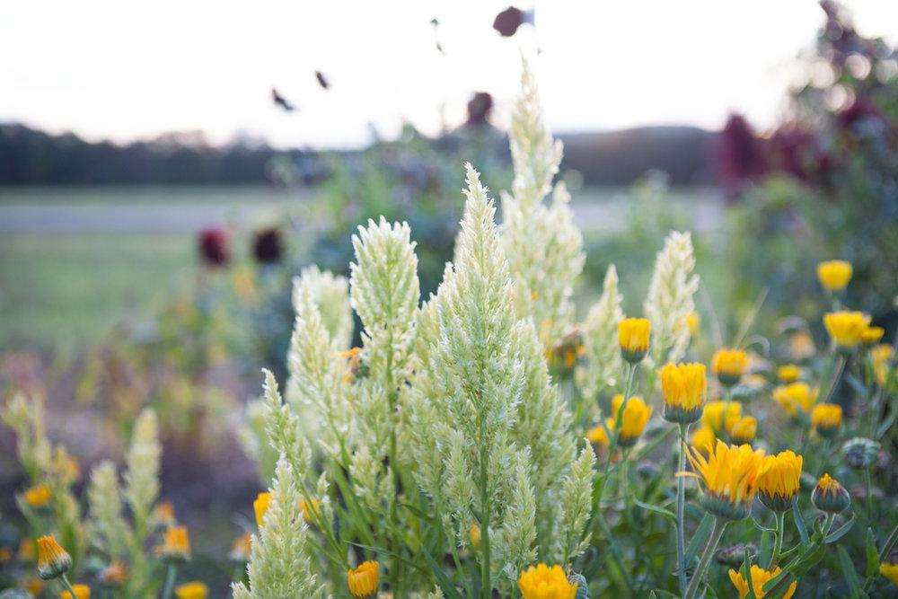 wingate_farm_flowers_alyssa_robb_photography-13.jpg