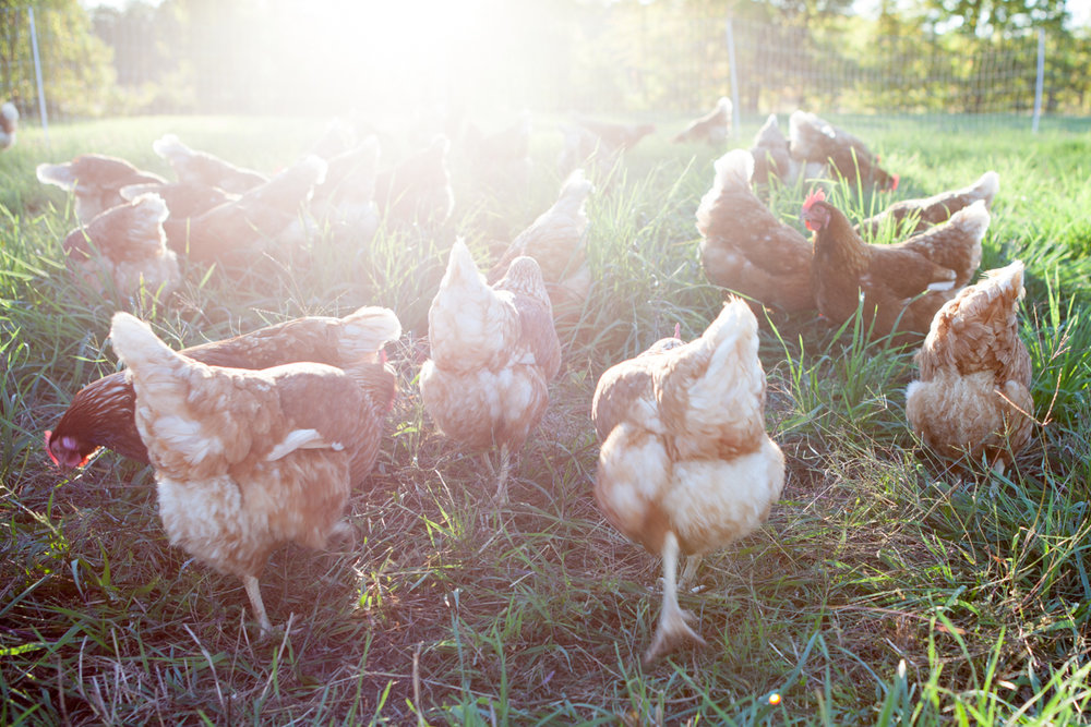 wingate_farm_eggs_alyssa_robb_photography-12.jpg