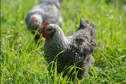 wingate_farm_chicken_alyssa_robb_photography-2.jpg