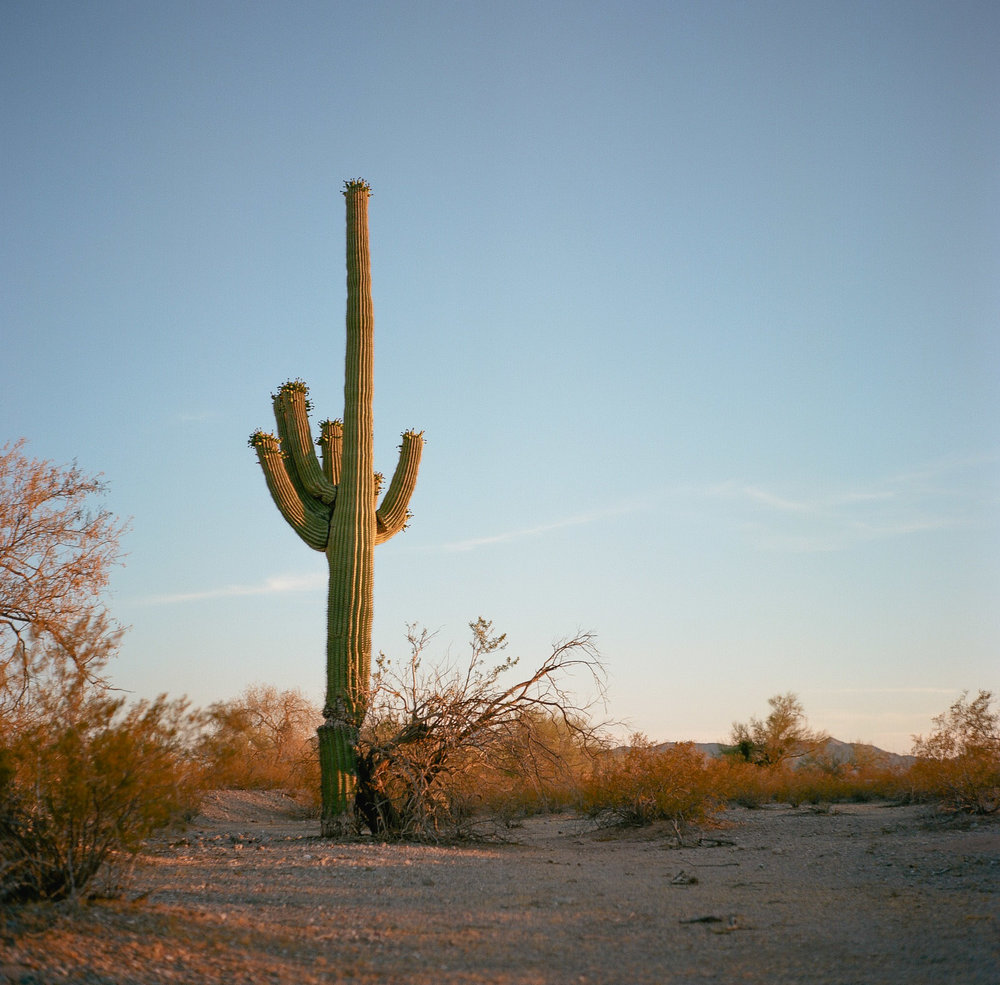 Giant Saguaro, Near Gila Bend, AZ