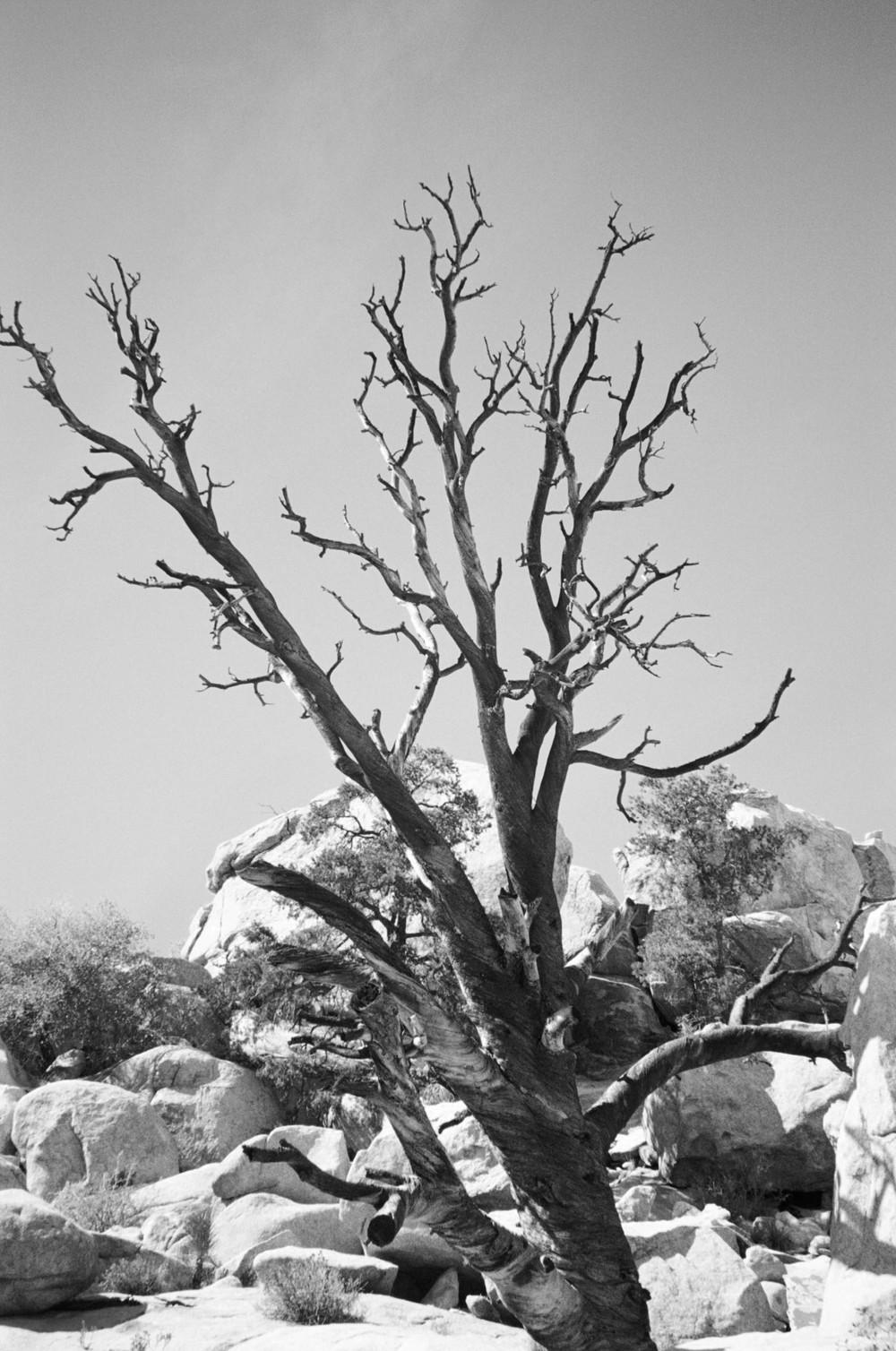 Joshua-Tree-Film-Tree-bw-casenruiz.jpg