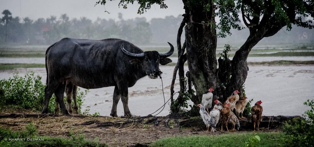 Cow-3.jpg