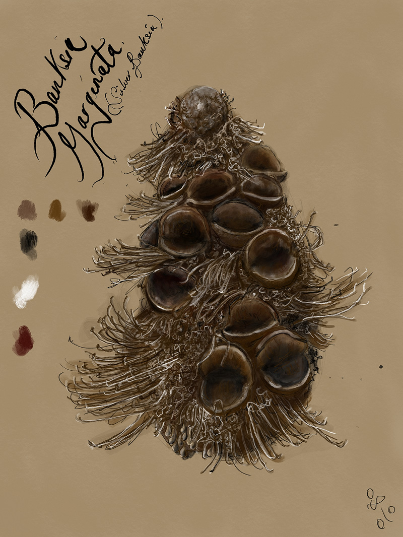 Banksia_Marginata.jpg