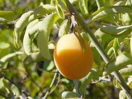 Ximenia oil, also known as Seaside Plum is found in the woodlands and savannah of Southern Africa.  It is one of the richest oils, and helps to moisturise the hair. This oil plays a huge part in leaving hair soft and silky.
