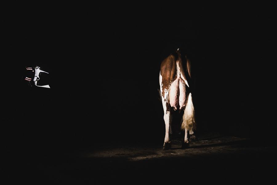 alice bertrand photographe vache-32.jpg