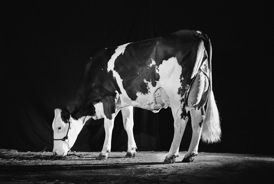 alice bertrand photographe vache-42.jpg