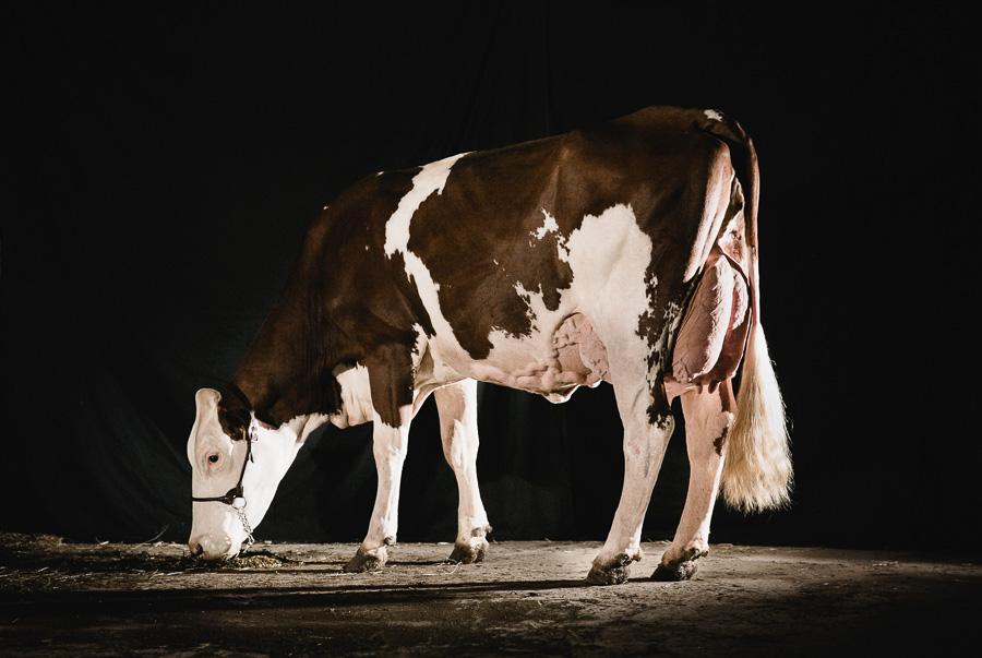 alice bertrand photographe vache-43.jpg