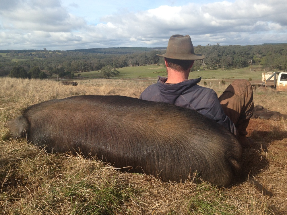 Stuart Jonas with one of this happy rare-breed Large Black pigs