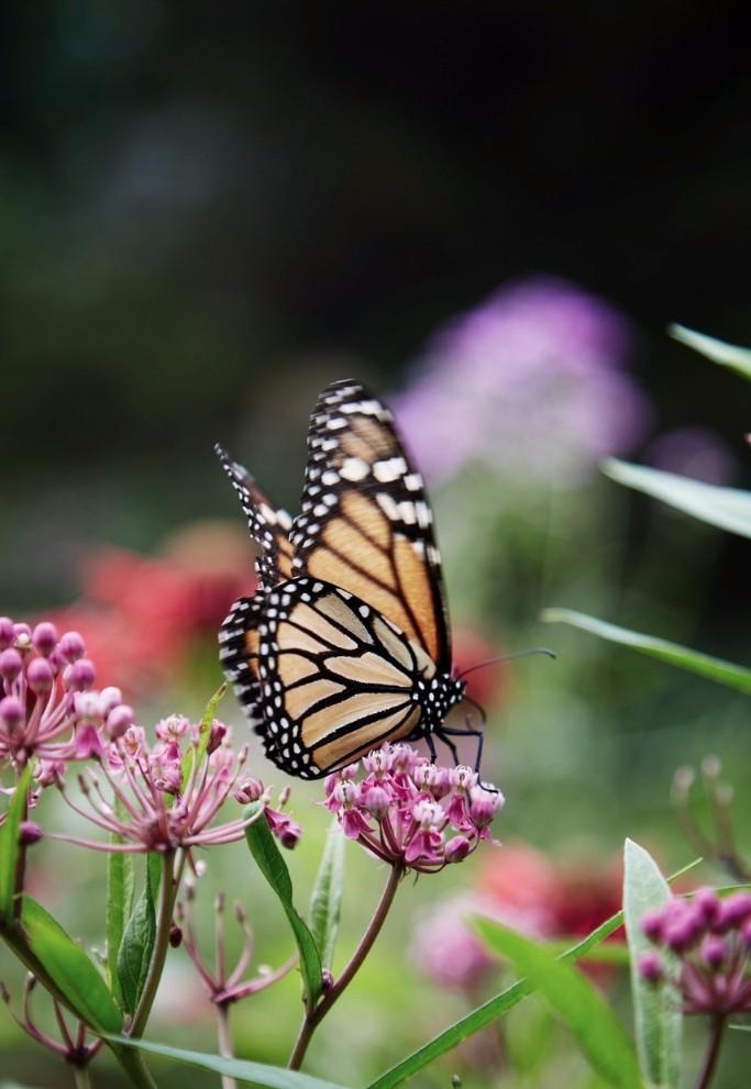 Butterfly in Glasgow Garden, Woodstock - Martyn Thompson.