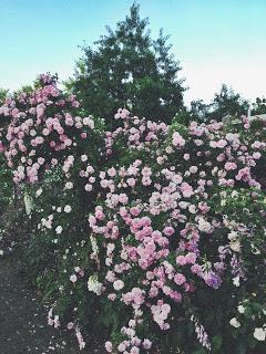 Rose+Bush.jpg
