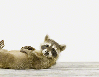 Baby+Racoon_Baby+Animal+Photography+Prints.jpg