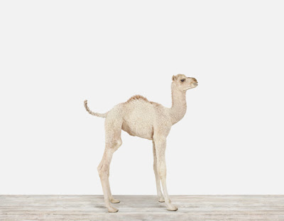 Baby-Camel-Nursery-Art_Main.jpg
