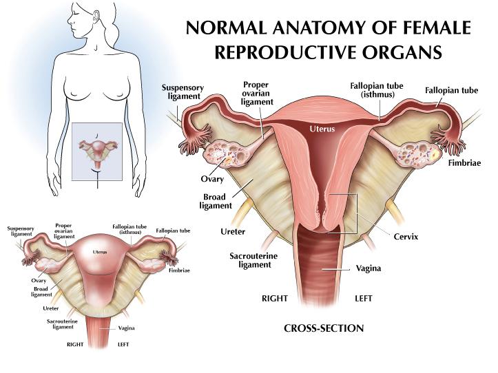 femalereproductive.jpg