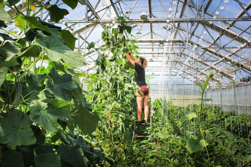 cucumberharvest2014-1.jpg