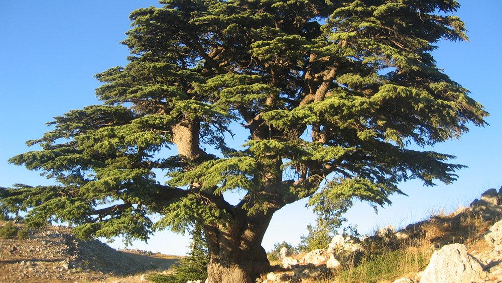 Cedar Lebanon.jpg