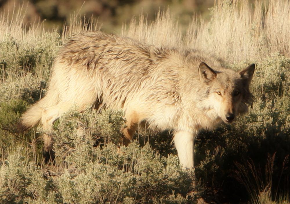 lamar wolf.jpg