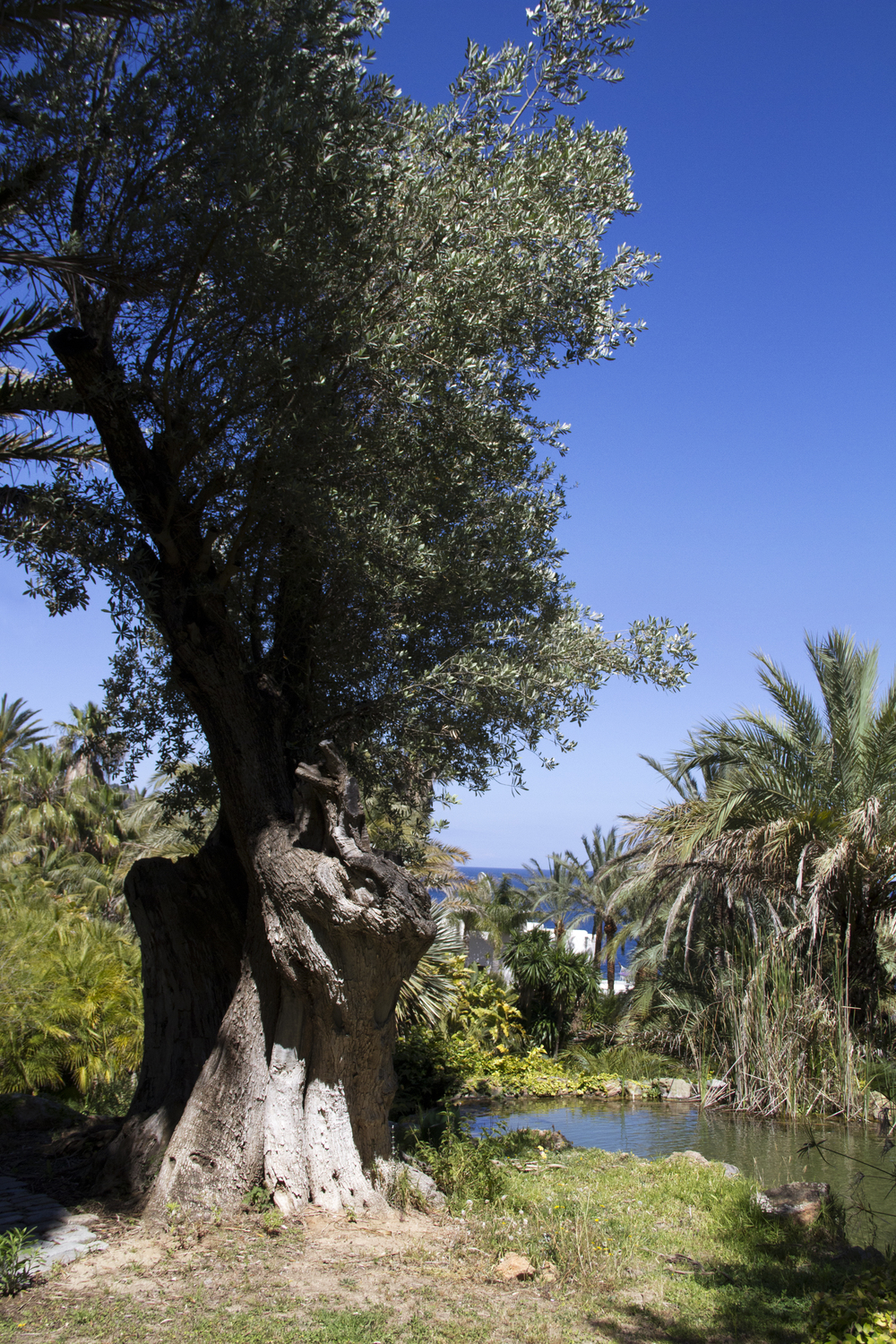 The Ancient Olive Patch.jpg