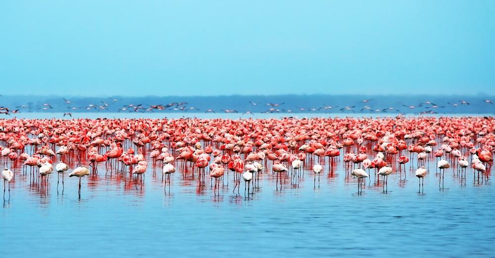 Pink flamingos at lake nakuru