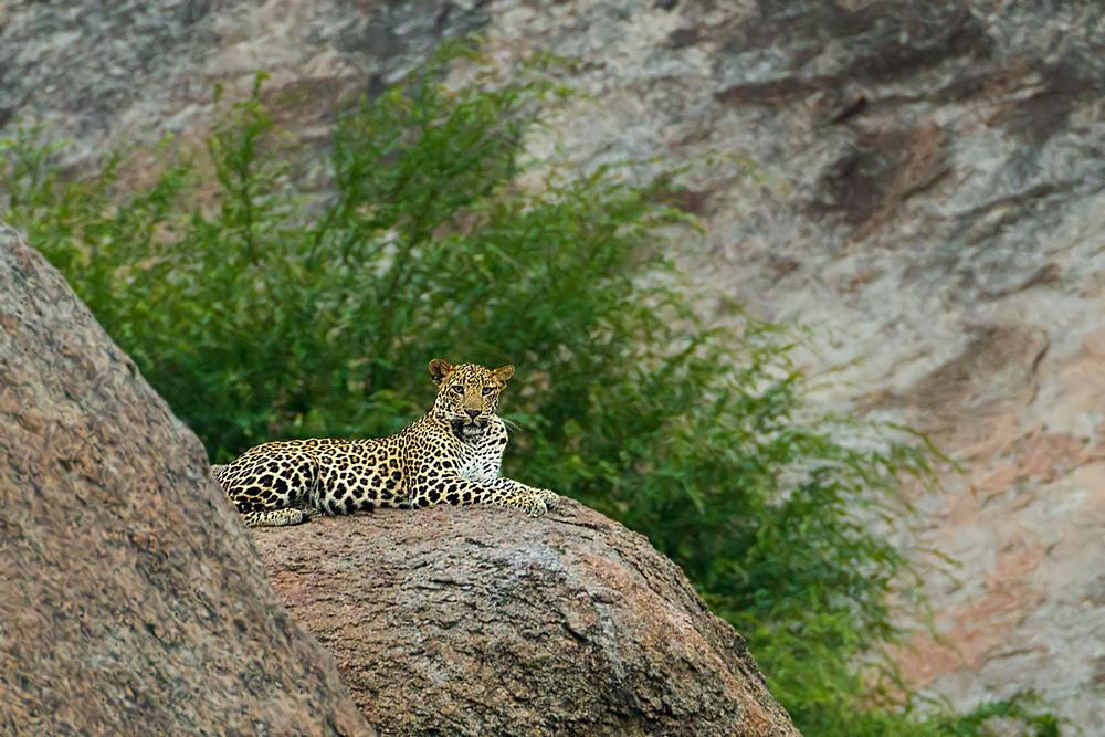 jawai leopard.jpg