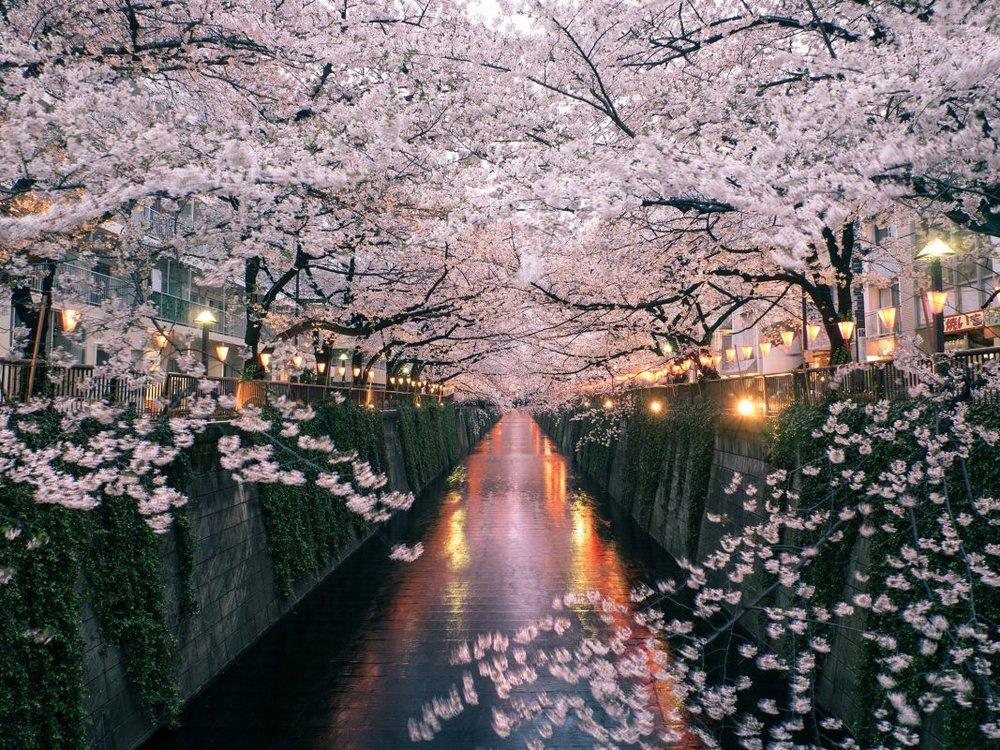 cherry tokyo 4.jpg