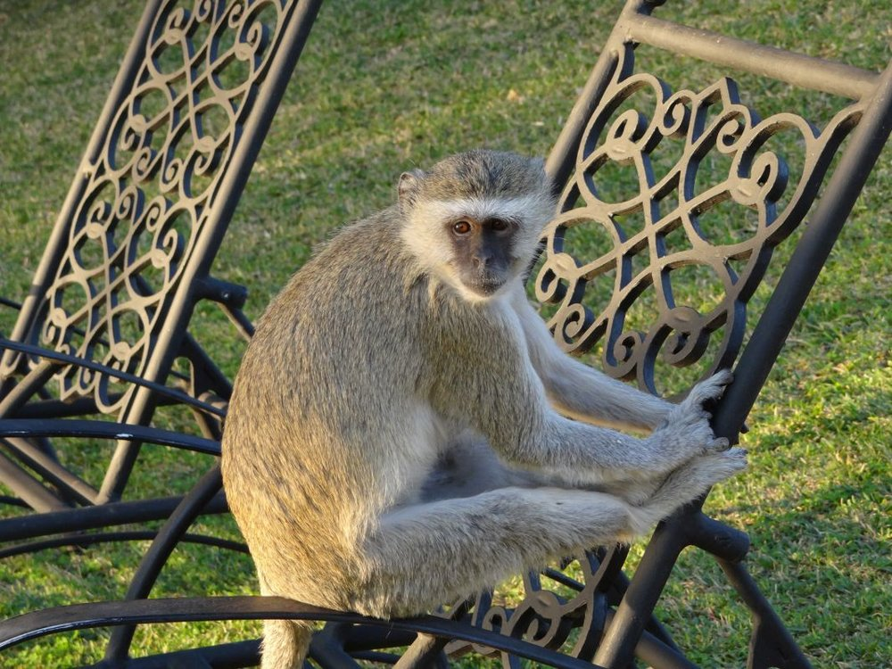 monkey at royal livingstone.jpg