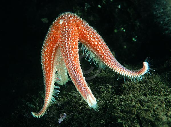 common_starfish_spawning.jpeg