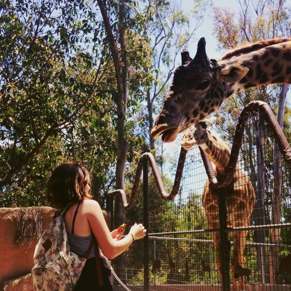 Feeding giraffes at the San Diego zoo