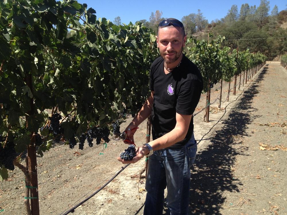 Picking Syrah grapes in paso