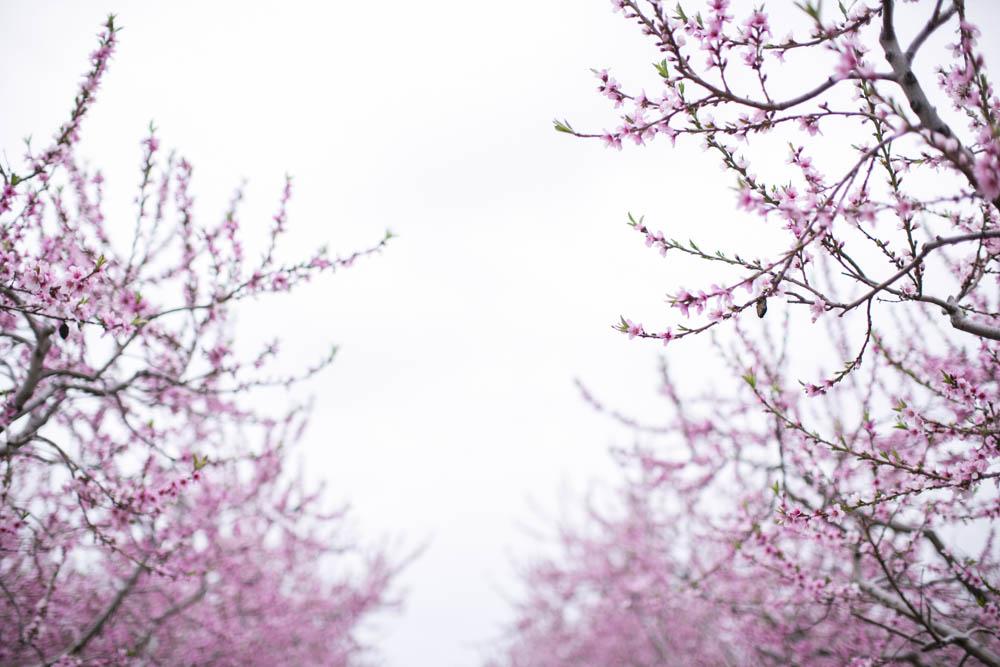 philiosophy-studios-engagement-session-spring-orchard-blossoms-vineyard-bride-swish-list-vendor-niagara-toronto-wedding-photographer018.JPG