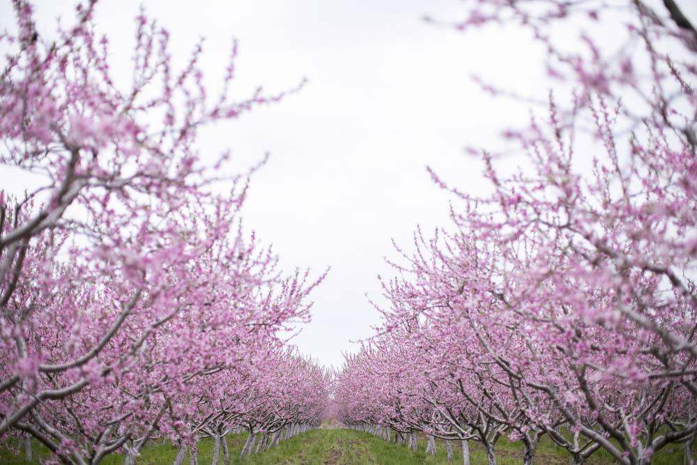 philiosophy-studios-engagement-session-spring-orchard-blossoms-vineyard-bride-swish-list-vendor-niagara-toronto-wedding-photographer017.JPG