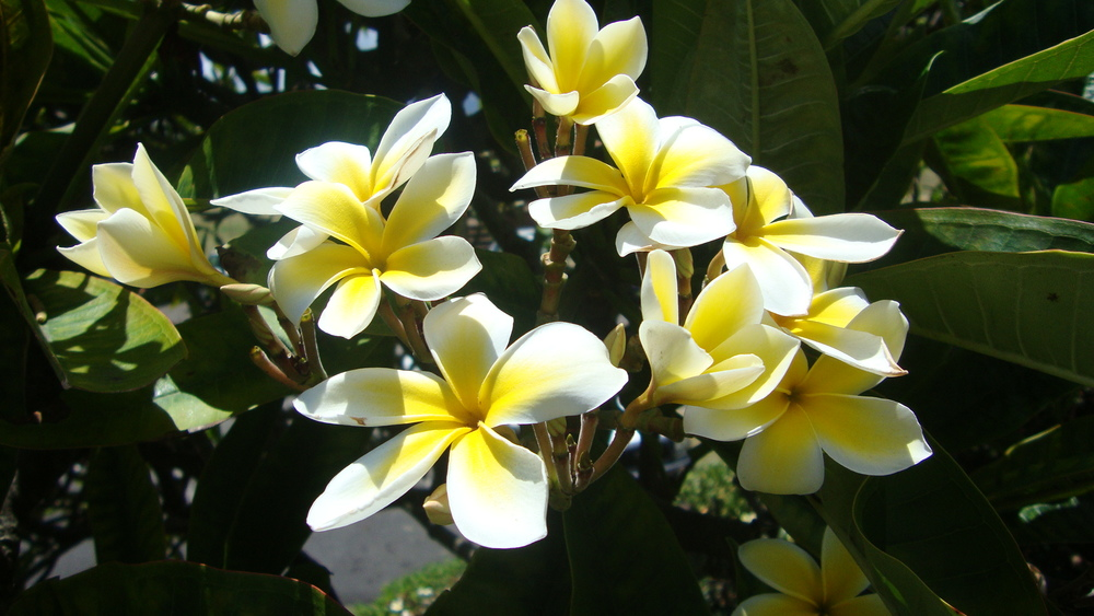 La fleur de Plumeria à mettre dans vos cheveux! Petit truc : plantez un cure dent dans la fleur pour qu'elle tienne derrière votre oreille !